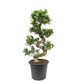 Fleur.nl - Ficus Bonsai Medium