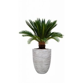 Fleur.nl - Cycas Palm Revolta in pot Capi
