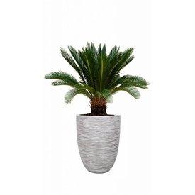 Fleur.nl - Cycas Palm Revoluta in pot Capi