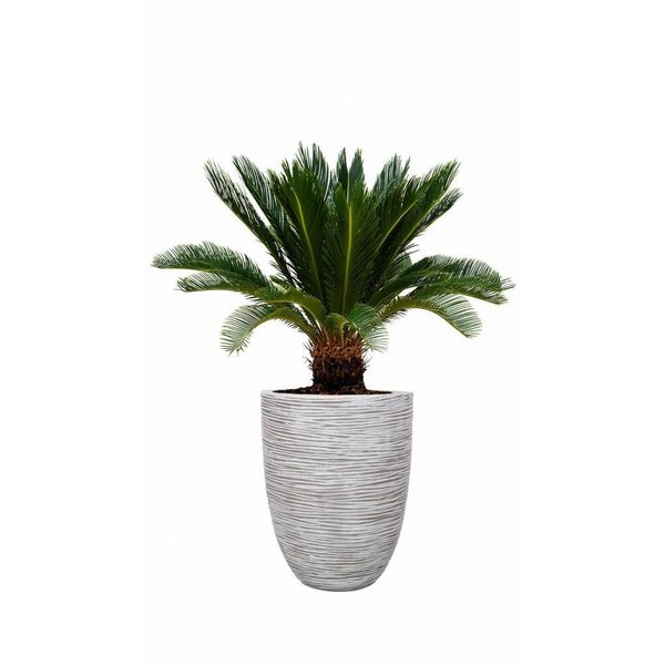 Cycas Palm Revoluta in pot Capi