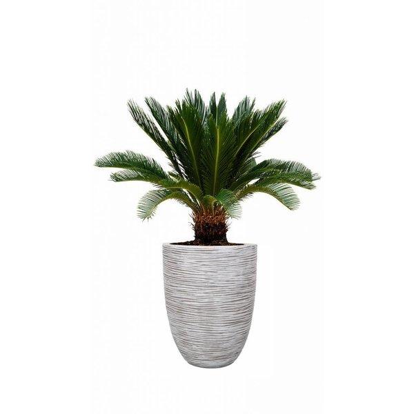 Cycas Palm Verolta in pot Capi