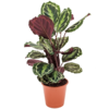 Calathea plant live Darkbrown