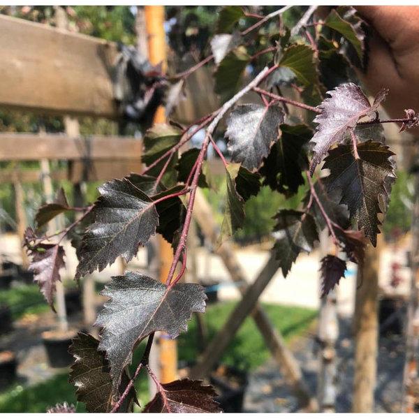 Betula Pendula 'Royal Frost' Rode berk
