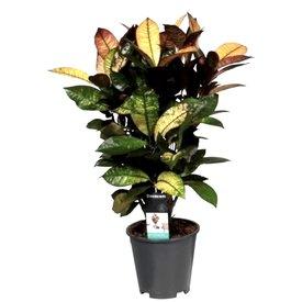 Fleur.nl - Croton struik small