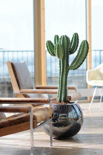 Euphorbia - Hydrocultuur