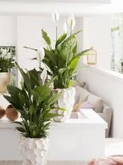 Spathiphyllum - Hydrocultuur