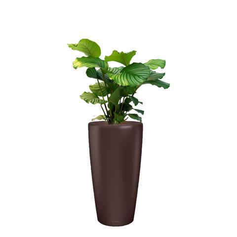 Calathea Orbifolia in watergevende pot rondo