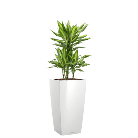 Dracaena Cintho in watergevende pot cubico
