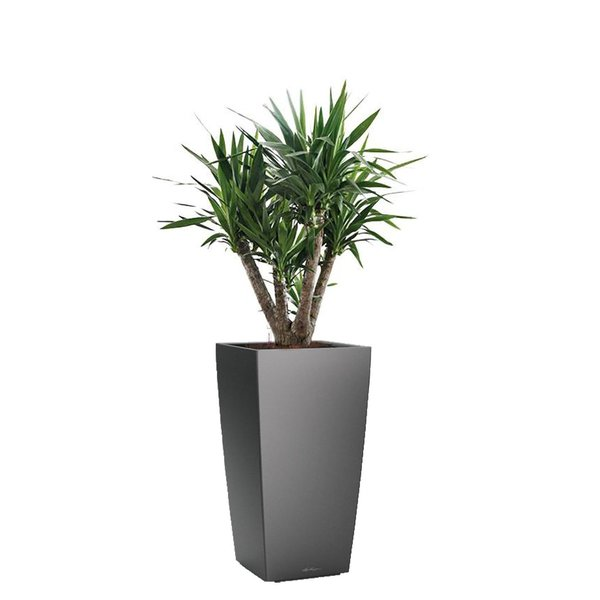 Lechuza Yucca Elephantipes in watergevende pot Cubico