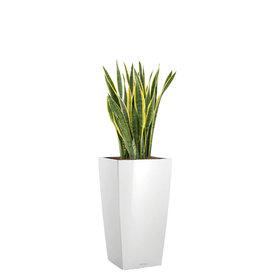 Fleur.nl -Lechuza Sansevieria Laurentii in watergevende pot Cubico