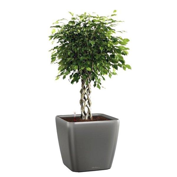 Lechuza Ficus gevlochten stam  in watergevende pot quadro