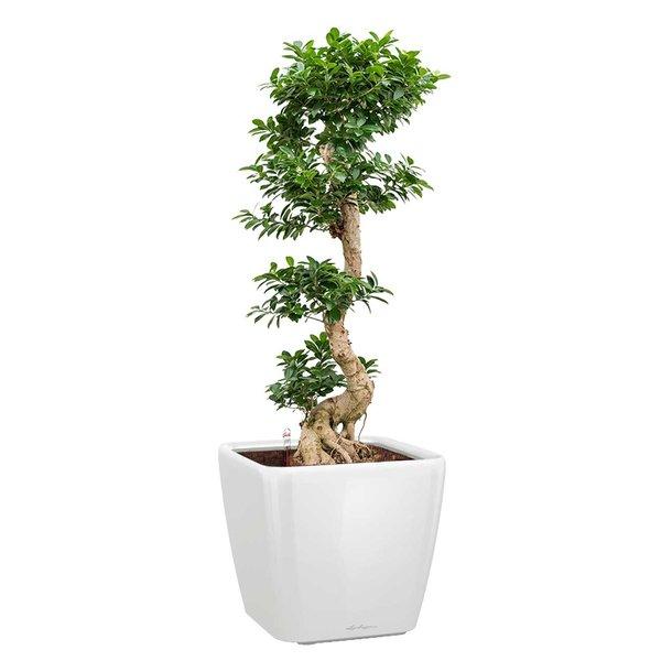 Lechuza Ficus Bonsai in watergevende pot Quadro