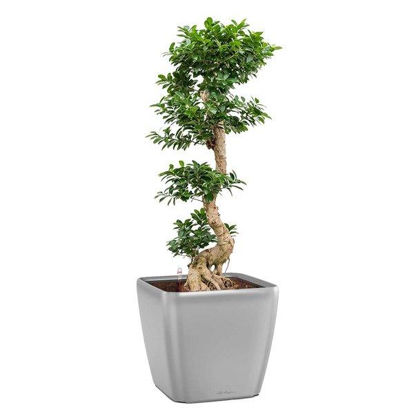 Bonsai Luxius In Lechuza Pot Eenvoudig En Snel Online Bestellen Black Friday Sale Fleur Nl