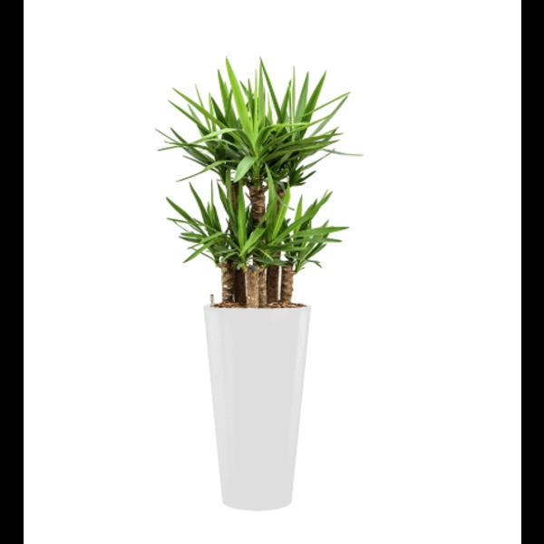 Yucca Elephantipes met pot - hydrocultuur