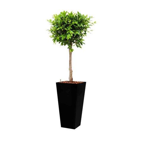 Ficus Nitida in watergevende pot - square