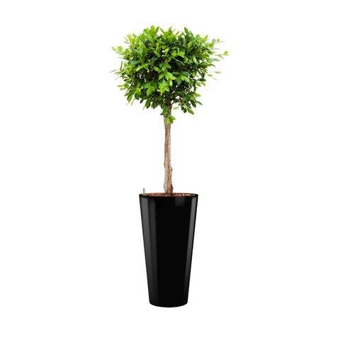Ficus Nitida in watergevende pot - round