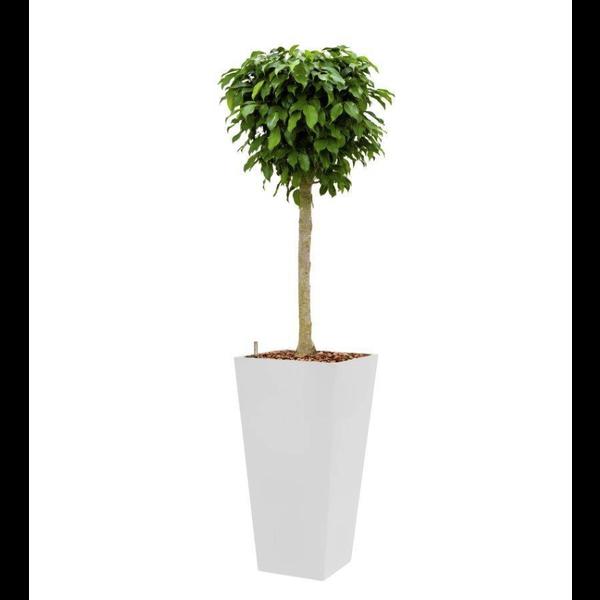 Ficus Benjamina Columnar met pot - hydrocultuur