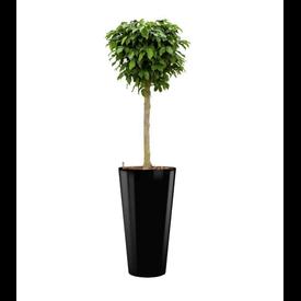 Fleur.nl - Ficus Benjamina Columnar in watergevende pot - round