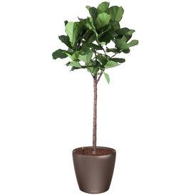 Fleur.nl -Lechuza Ficus lyrata tabaksplant in watergevende pot Classico