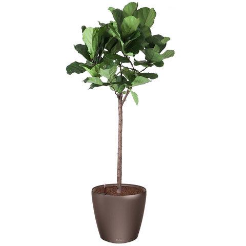 Ficus lyrata tabaksplant in watergevende pot Classico
