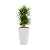 Dracaena Marginata met pot - hydrocultuur