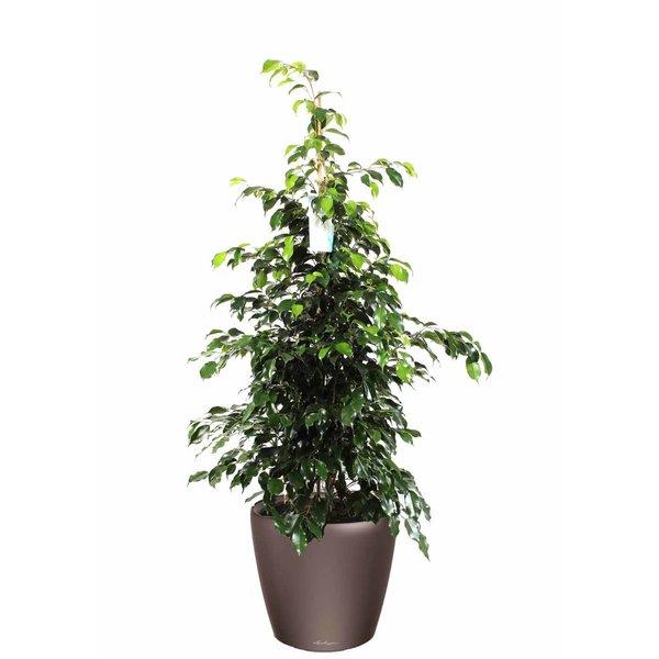 Lechuza Ficus Benjamina in watergevende pot Classico