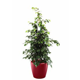 Fleur.nl -Lechuza Ficus Benjamina in watergevende pot Classico
