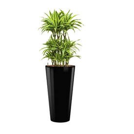 Fleur.nl - Dracaena Lemon Lime in watergevende pot - round