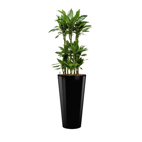 Dracaena Janet Lind in watergevende pot - round
