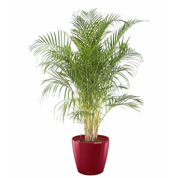 Lechuza Palm Areca in watergevende pot classico