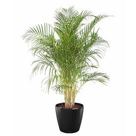 Fleur.nl -Lechuza Palm Areca XL in watergevende pot classico