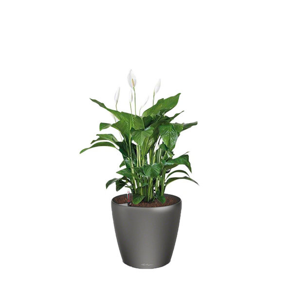 Lechuza Spathiphyllum in watergevende pot Classico