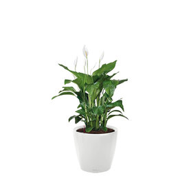 Fleur.nl -Lechuza Spathiphyllum in watergevende pot Classico