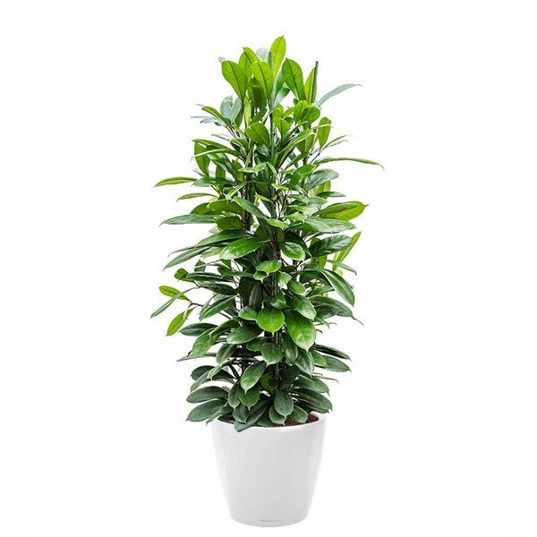Lechuza Ficus Cyathistipula in watergevende pot Classico