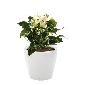 Fleur.nl -Lechuza Anthurium wit in watergevende pot classico