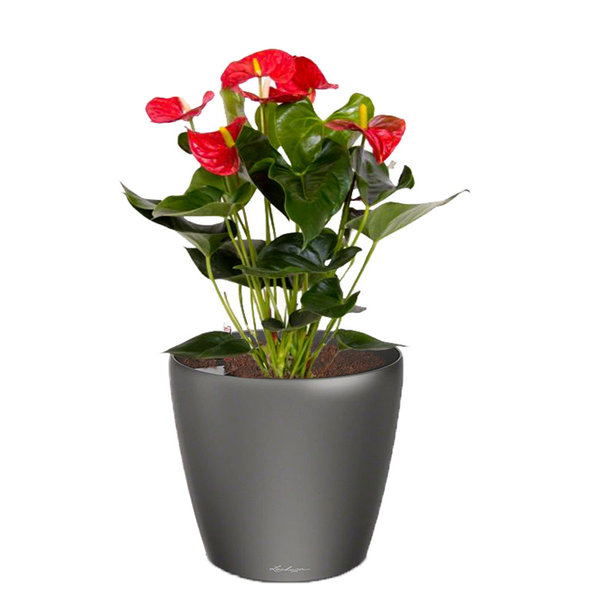 Lechuza Anthurium Rood in watergevende pot Classico