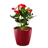 Anthurium Rood in watergevende pot Classico