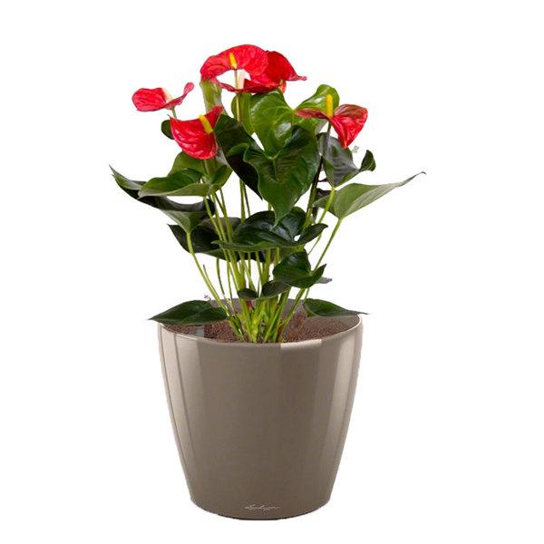 Lechuza Anthurium Rood in watergevende pot Classico