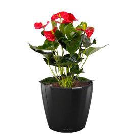 Fleur.nl -Lechuza Anthurium Rood in watergevende pot Classico