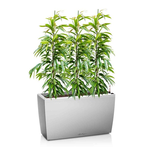 Lechuza Ficus Amstel King in watergevende pot Cararo