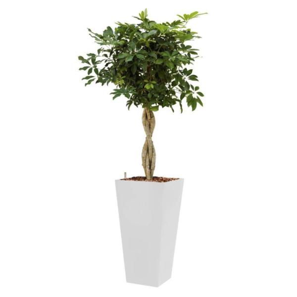 Schefflera Arboricola met pot - hydrocultuur