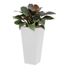 Philodendron Imperial Red met pot - hydrocultuur