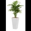 Kentia (Howea) Forsteriana met pot - hydrocultuur