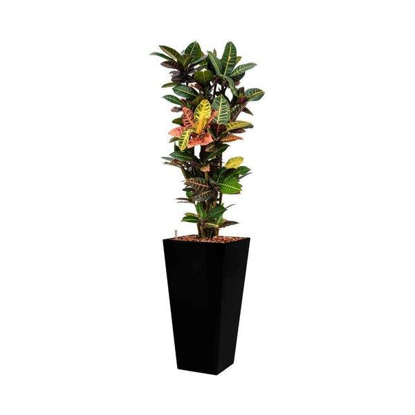 Croton (Codiaeum) Petra met pot - hydrocultuur