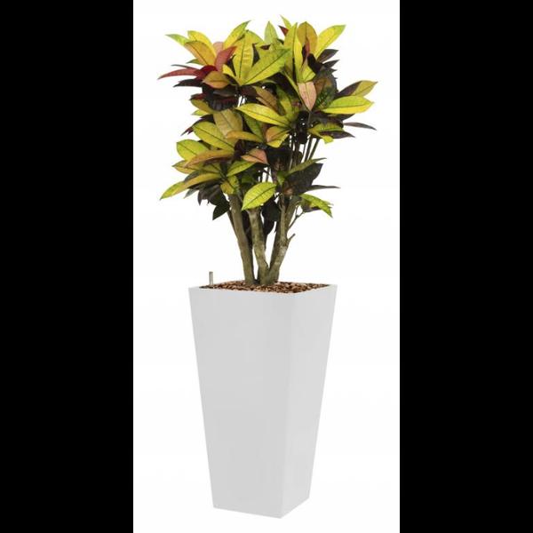 Croton (Codiaeum) Iceton met pot - hydrocultuur