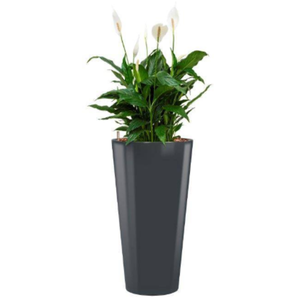 Spathiphyllum Mont Blanc met pot - hydrocultuur