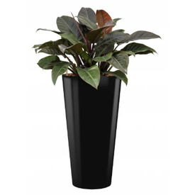 Fleur.nl - Philodendron Imperial Red in watergevende pot - round