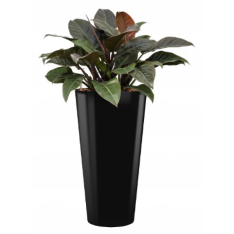 Philodendron Imperial Red in watergevende pot - round