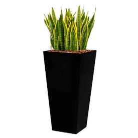 Fleur.nl - Sansevieria Laurentii in watergevende pot - square