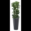 Ficus Lyrata Bambino met pot - hydrocultuur